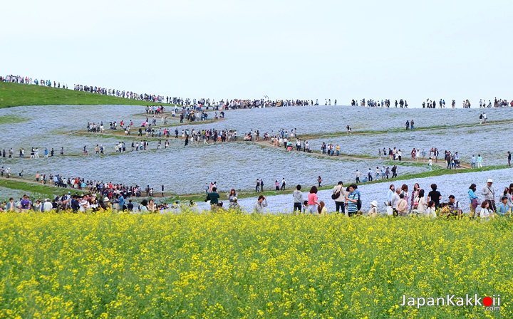 Hitachi Seaside Park Flowers