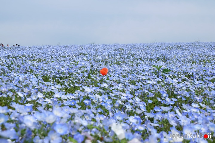 Orange Flower among Blue Flowers