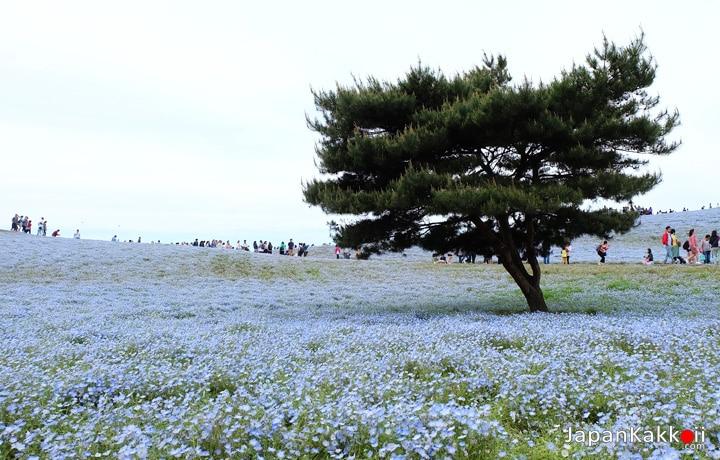 Nemophila-field
