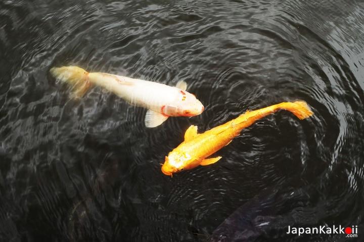 ปลาคาร์ฟ