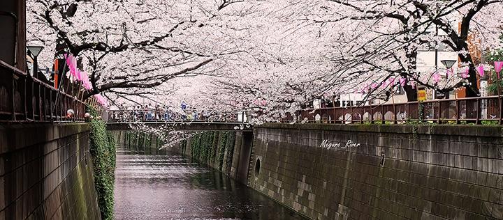 Meguro-River-Sakura-6s