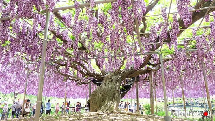 ต้นวิสทีเรีย (ต้นฟูจิ)