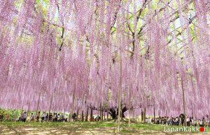 ดอกวิสทีเรีย (Wisteria) Ashikaga Flower Park
