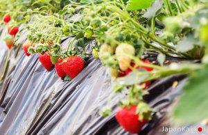 สวนสตรอเบอร์รี่ Yagihara Farm Chichibu