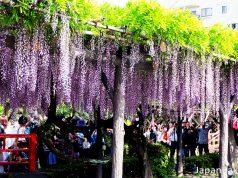 Kameido Tenjin Shrine Wisteria Festival