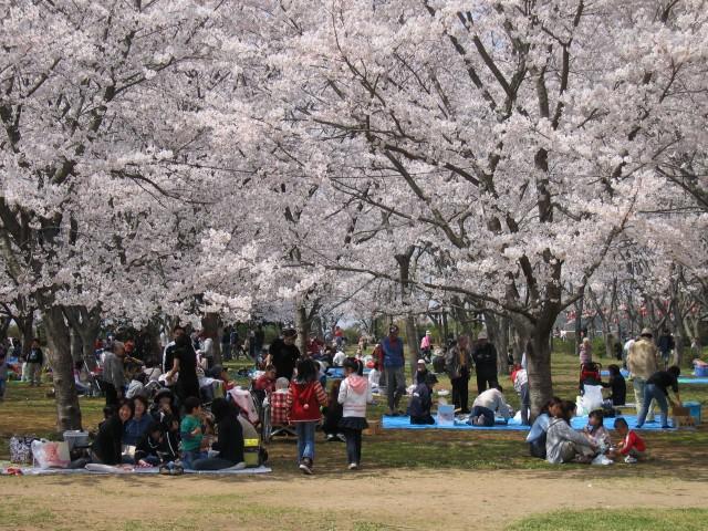 Sakura Sightseeing near Tokyo