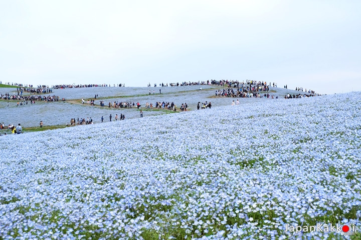Nemophila - Hitachi Seaside Park