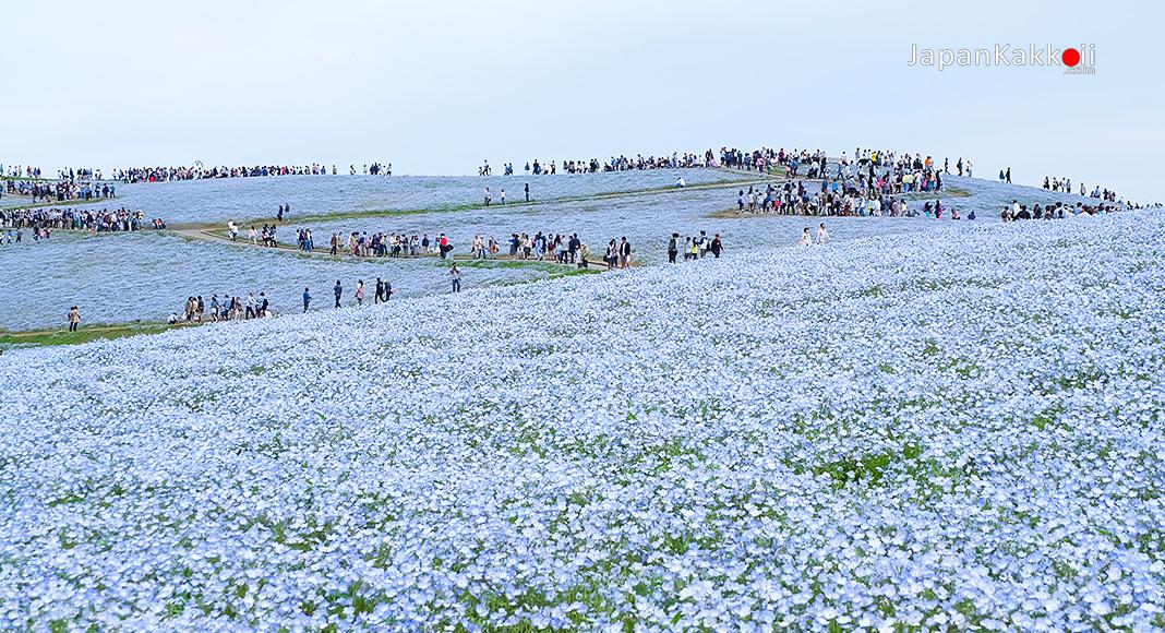 สวนฮิตาชิ ซีไซด์ พาร์ค (Hitachi Seaside Park)