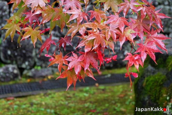 ใบไม้แดงที่นิกโก้