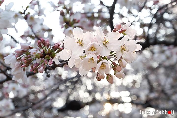 """ดอกซากุระ Cerasus × yedoensis """"Somei-yoshino"""""""