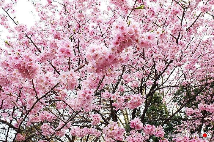 ต้นซากุระในสวน Shinjuku Gyoen