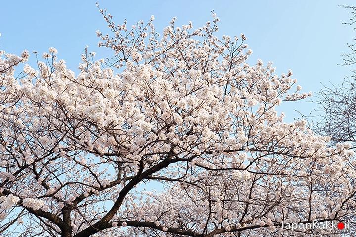 ต้นซากุระสีชมพูอ่อน