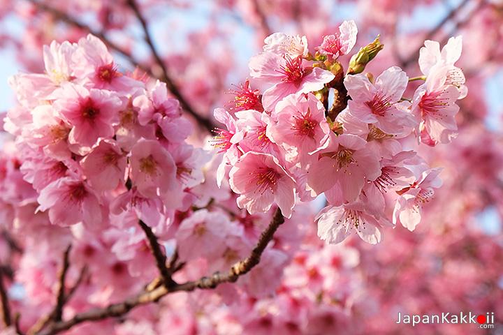 ช่อดอกซากุระสีชมพูสด