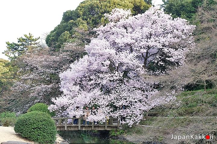 ต้นซากุระกับสะพานไม้