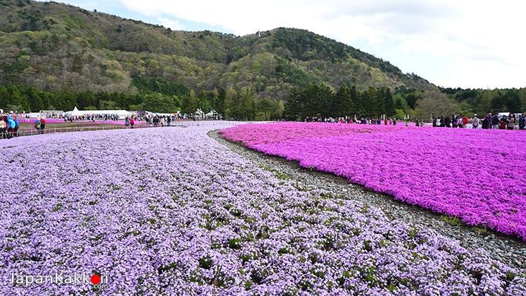 ทุ่งดอกชิบะซากุระหลากสี