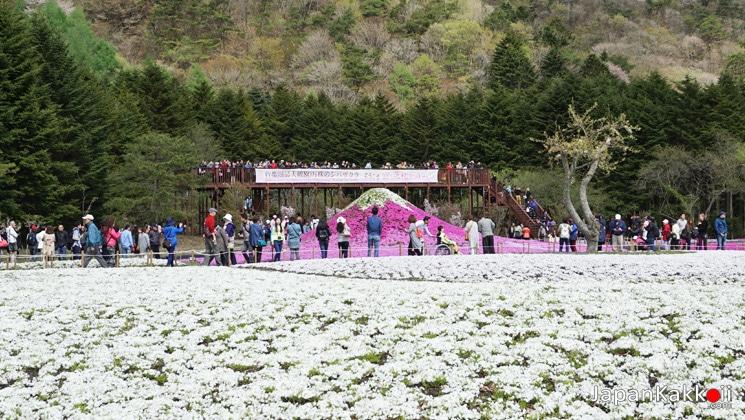 Fuji-Shibazakura-Festival