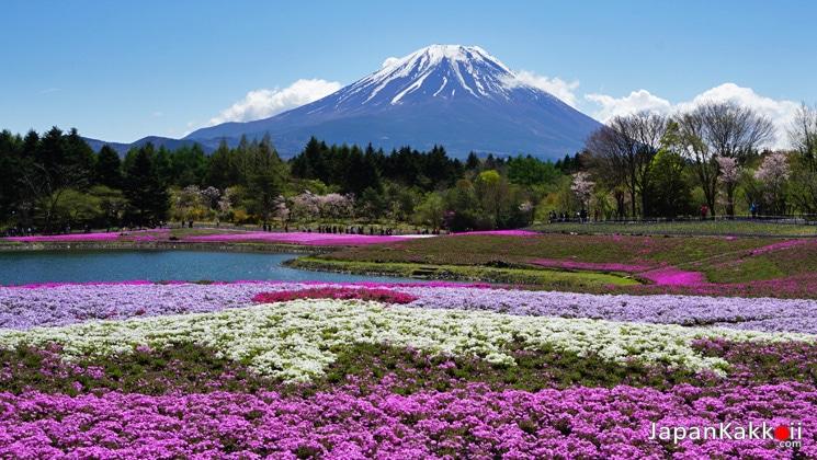 ทุ่งดอกชิบะซากุระและภูเขาไฟฟูจิ