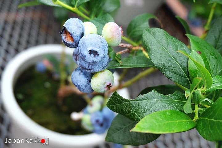 ต้นบลูเบอร์รี่