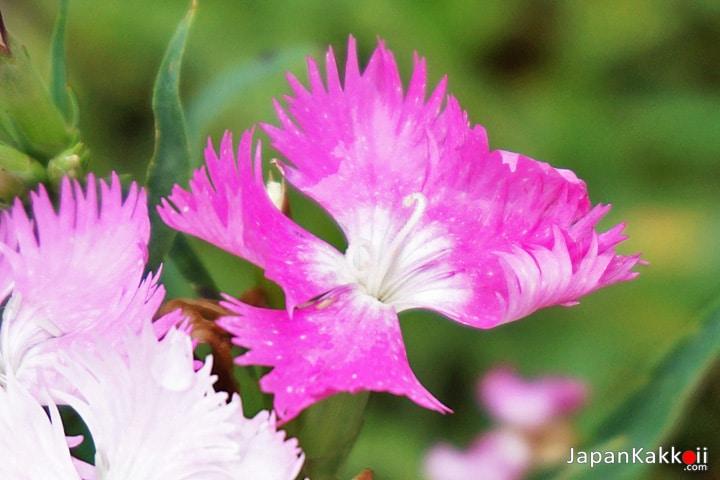ดอกไม้สีชมพูในสวน