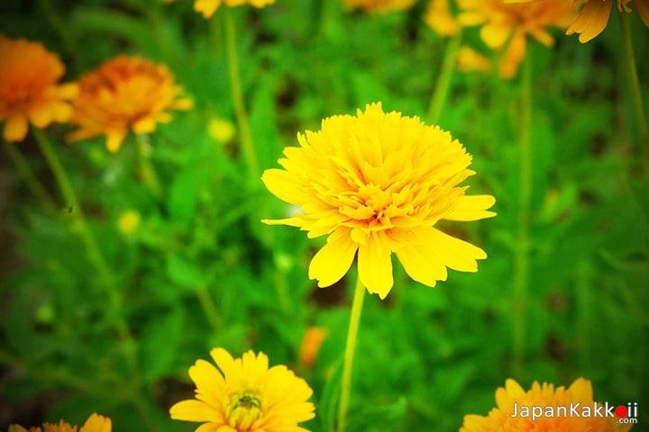 ดอกไม้สีเหลืองในสวน