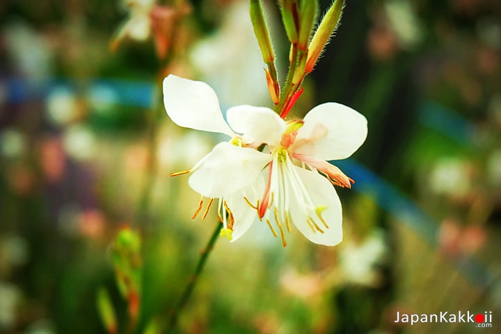 ดอกไม้สีขาวในสวน