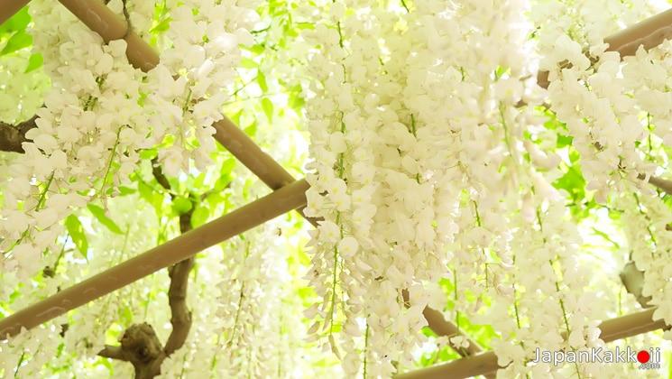 ดอกวิสทีเรีย (ดอกฟูจิ) สีขาว