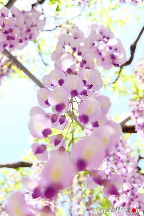 ดอกวิสทีเรีย (ดอกฟูจิ)