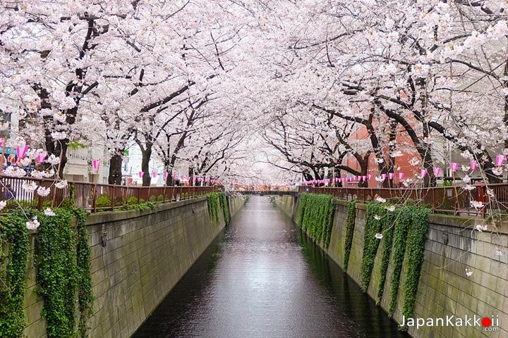 ซากุระที่แม่น้ำเมกุโระ (Meguro River)