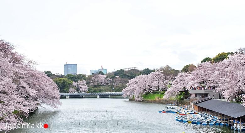 สวนจิโดริกะฟุจิ /Chidorigafuchi Park (千鳥が淵公園)