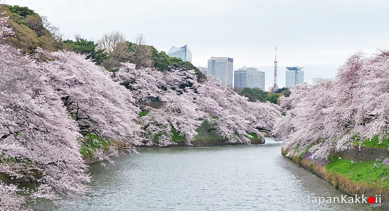 ซากุระที่สวนจิโดริกะฟุจิ