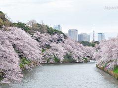 ซากุระที่สวนจิโดริกะฟุจิ (Chidorigafuchi Park)