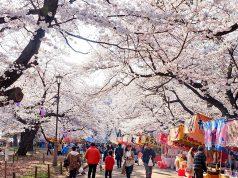 ซากุระสวนโอมิยะ (Omiya Park) จังหวัดไซตามะ (Saitama)