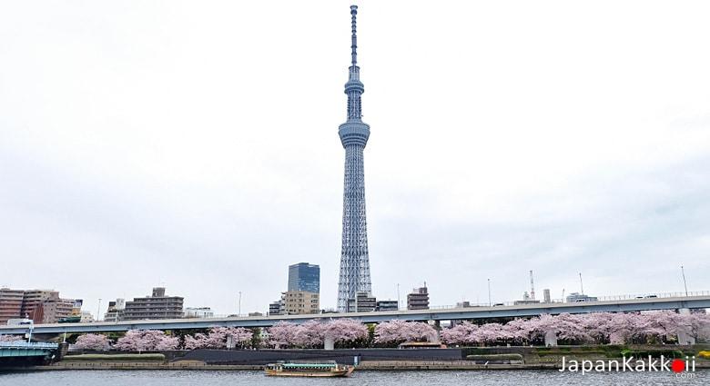 ล่องเรือชมซากุระ