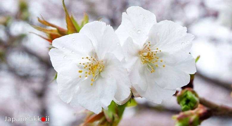 ซากุระสีขาว