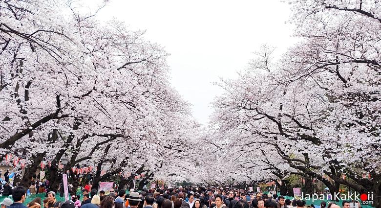 Ueno Park Sakura