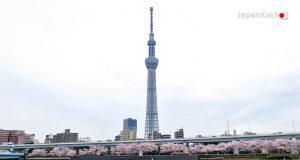 ซากุระที่แม่น้ำสุมิดะ (Sumida River)
