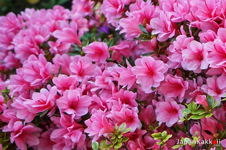 ดอกสีชมพู