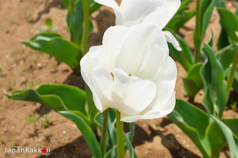 ดอกทิวลิปสีขาว