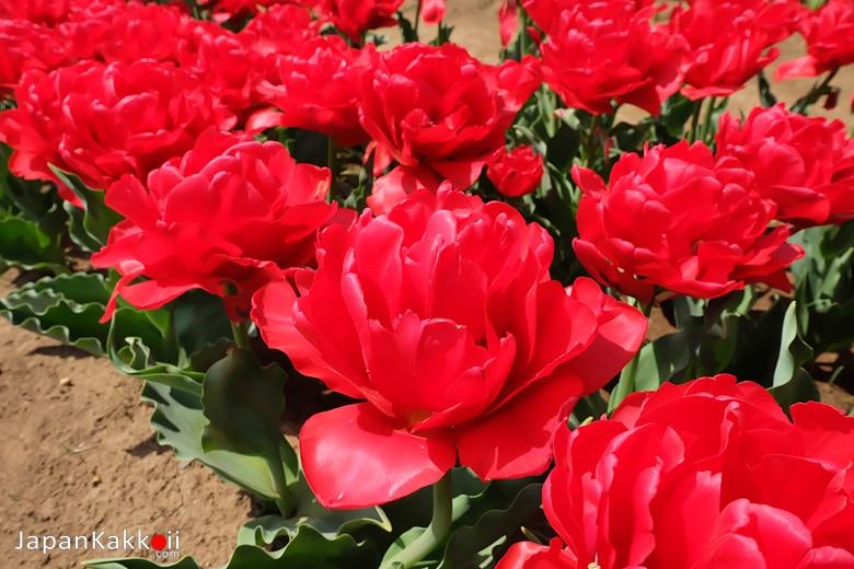 ดอกทิวลิปสีแดง