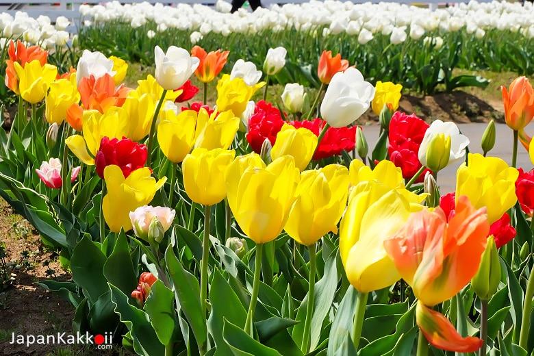 ดอกทิวลิปสีต่างๆ