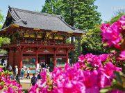 ศาลเจ้าเนซุ (Nezu Shrine) Azalea (Tsutsuji)