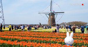Sakura Tulip Festa จังหวัดชิบะ (Chiba)
