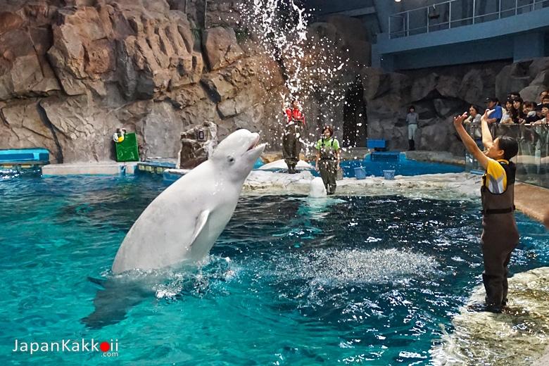 การฝึกวาฬเบลูกา