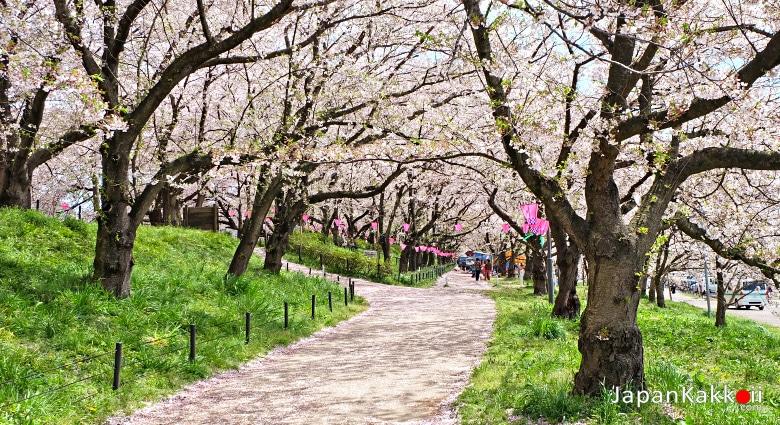 ทางเดินซากุระ