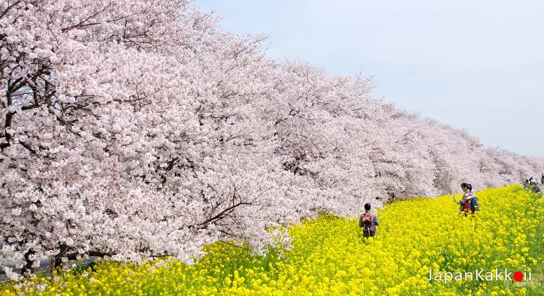 Kumagaya Sakura