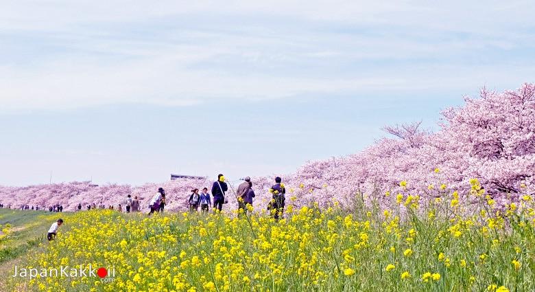 ซากุระเมืองคุมะกายะ
