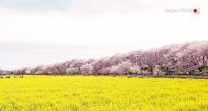 Gongendo Sakura Tsutsumi (権現堂桜堤)