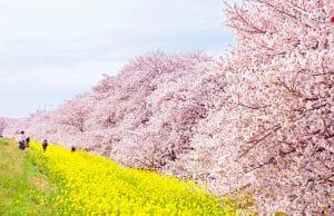 Kumagaya Sakura Tsutsumi (熊谷桜堤)