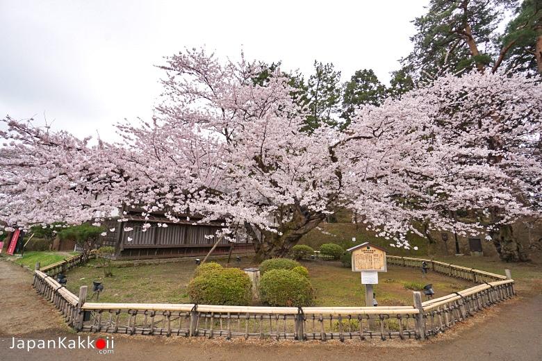 ต้นซากุระเก่าแก่