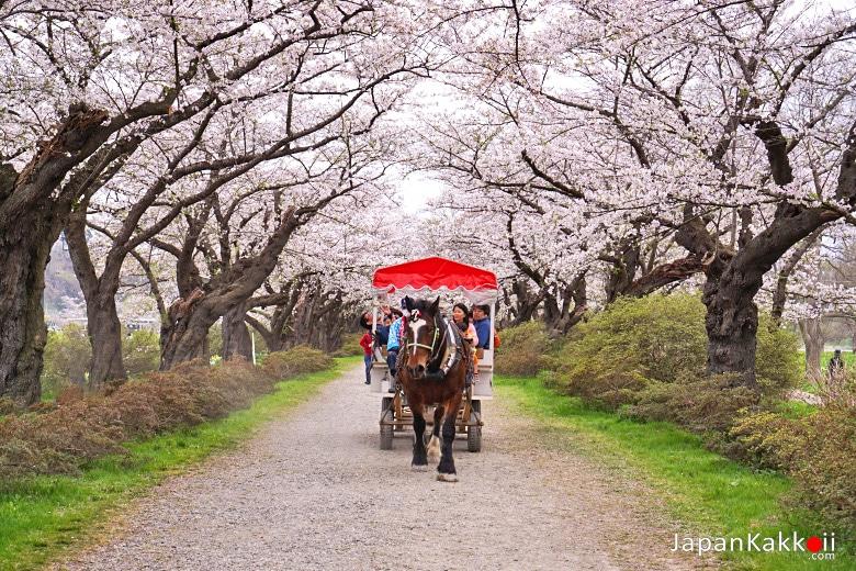 งานเทศกาลชมซากุระ คิตะคามิ เทนโชจิ (Kitakami Tenshochi Sakura Festival / 北上展勝地さくらまつり)